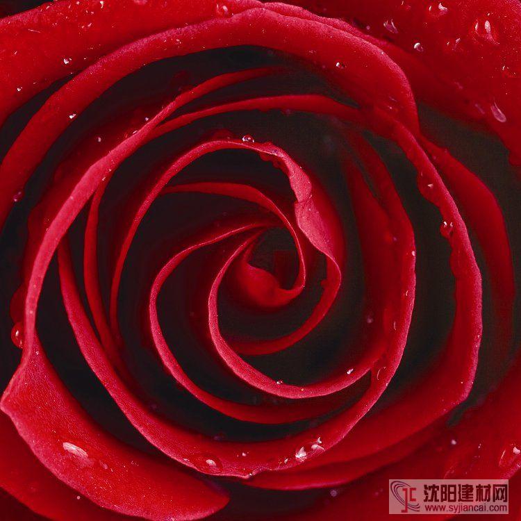 壁画之玫瑰7