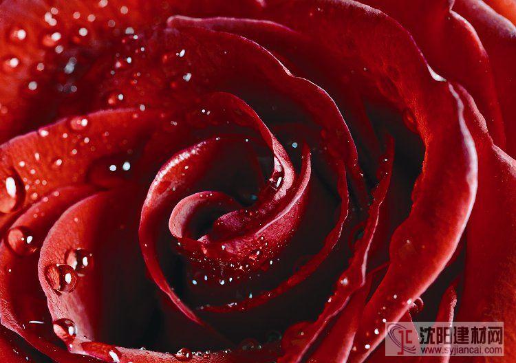 壁画之玫瑰8