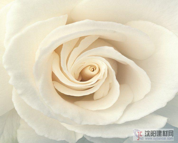 壁画之玫瑰14
