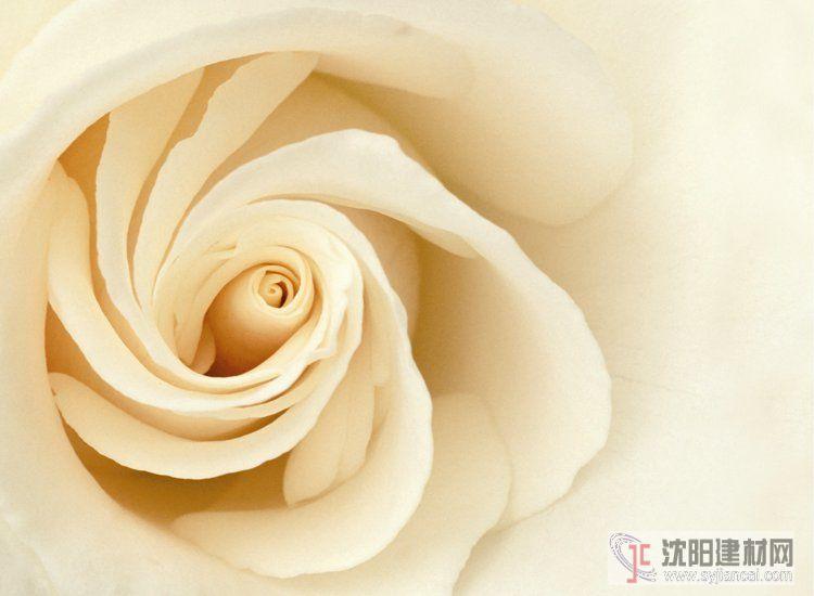 壁画之玫瑰16